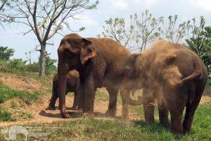 Elephant herd in Thailand