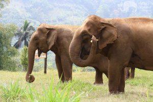 elephants living in sanctuary feeding