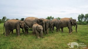Elephant family at ethical elephant sanctuary near Surin in Thailand