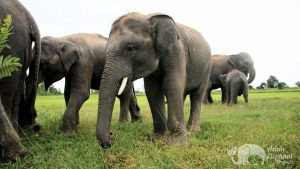 Elephant herd at ethical elephant sanctuary near Surin in Thailand