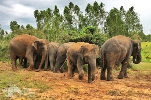 Herd of elephants at ethical elephant sanctuary near Surin in Thailand