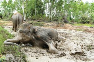 Elephant wallows in the mud at ethical elephant sanctuary near Surin in Thailand