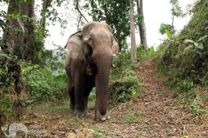 Elephant wanders the forest at ethical elephant sanctuary