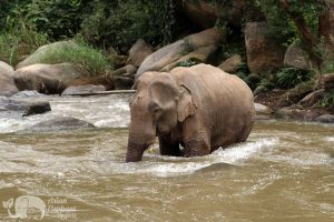 Elephant bathes in the river at ethical elephant tour near Chiang Mai