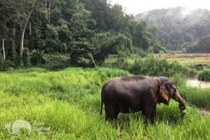 ELephants grazing at elephant tour in Northern Thailand