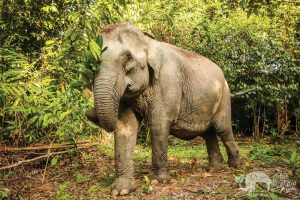 Elephant foraging at Elephant Sanctuary Cambodia
