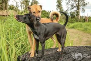 Rescued dogs at Elephant Sanctuary Cambodia
