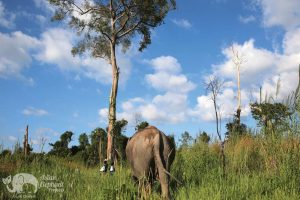 Elephant grazes on the grasses at Elephant Sanctuary Cambodia
