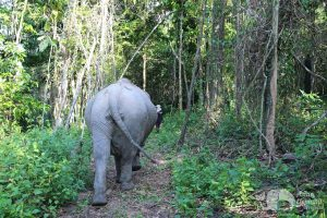 Elephant roams the forest at Elephant Sanctuary Cambodia