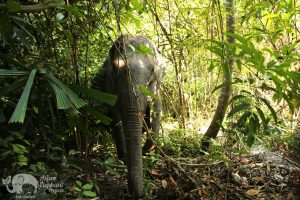 Elephant wanders the forest at Elephant Sanctuary Cambodia