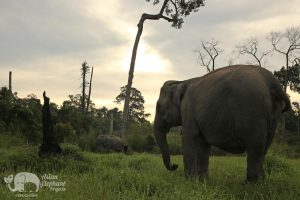 Elephant grazes at dusk at Elephant Sanctuary Cambodia