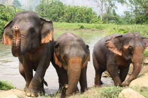 Elephant friends at ethical elephant tour near Chiang Mai in Thailand