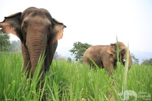 Elephants eating grass at ethical elephant tour near Chiang Mai in Thailand