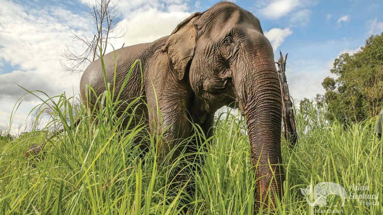 Elephant roaming at Elephant Sanctuary Cambodia