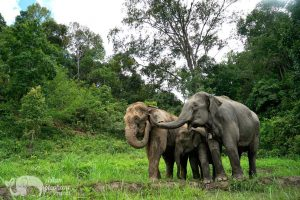 Elephant herd at ethical elephant tour near Chiang Mai in Thailand