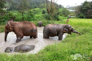 Elephants enjoying a bath at at ethical elephant tour near Chiang Mai in Thailand