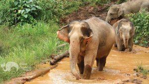 Elephants taking a mud bath in Northern Thailand