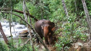 Elephant freed from riding roaming the jungle in Thailand