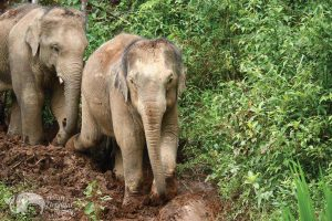 Elephants walking along mudy trails in Northern Thailand