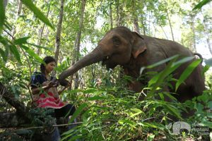 Interacting with elephant in the jungle on ethical elephant tour