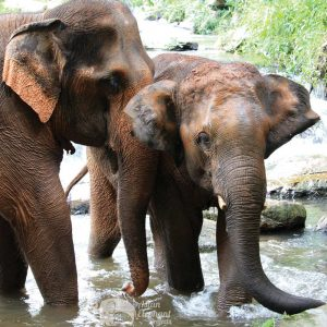 Elephants socializing in the stream in Northern Thailand