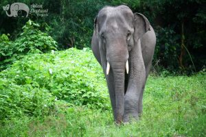 Elephant free from riding and performing enjoys roaming the forest