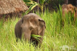 Elephants grazing at Karen Elephant Serenity