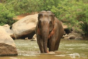 Elephant stands majestically in the river Northern Thailand