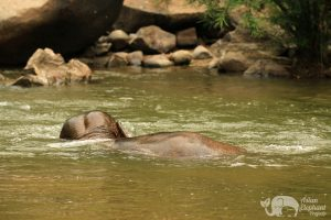 Elephant submerged in the river in Northern Thailand