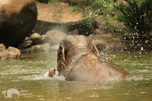Elephant retired from elephant riding swims in the river in Northern Thailand