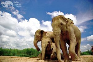 Elephant friends at Surin Project Thailand