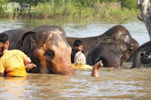 Volunteers swim with elephants at Surin Project Thailand