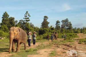 Volunteers walk with elephants at Surin Project Thailand