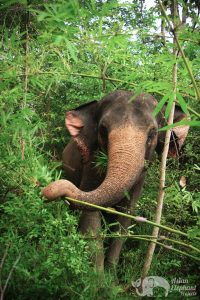 Elephants foraging in the jungle at Surin Project Thailand