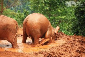 Elephants having fun in the mud at ethical elephant tour near Chiang Mai in Thailand