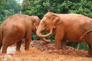 Elephants retired from elephant riding at ethical elephant tour near Chiang Mai in Thailand