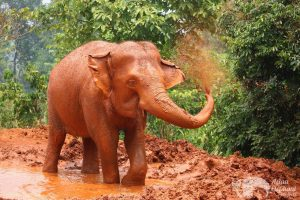 Elephant sprays mud at ethical elephant tour near Chiang Mai in Thailand