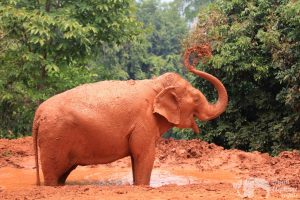 Elephant plays in the mud at ethical elephant tour near Chiang Mai in Thailand
