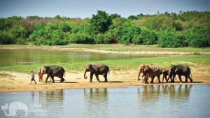 Elephants herd roaming Surin Project Thailand