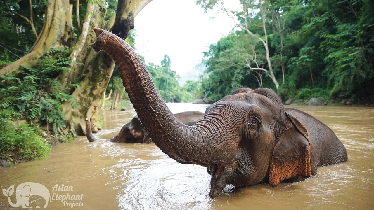 Elephant Sanctuary Asian Elephant Projects Chiang Mai Thailand