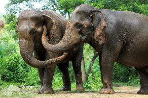 elephants socializing at ethical elephant sanctuary near Chiang Mai in Thailand