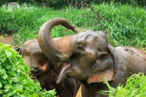 Happy elephants at ethical elephant sanctuary near Chiang Mai in Thailand