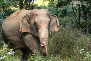 ELephants foraging in the jungle at ethical elephant sanctuary near Chiang Mai in Thailand