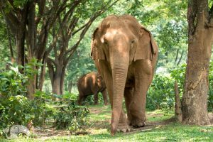 Walking with elephants at ethical elephant sanctuary near Chiang Mai in Thailand