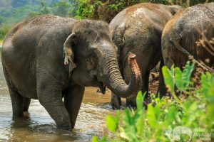 Elephants plaing in the mud at ethical elephant tour near Chiang Mai in Thailand