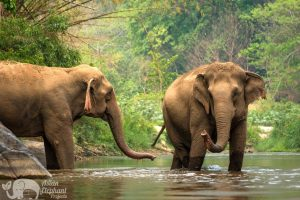 Elephants crossing the river at ethical elephant sanctuary near Chiang Mai in Thailand