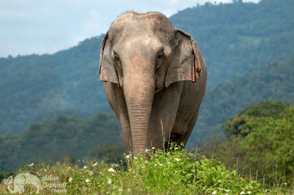 beautiful thai elephant at elephant sanctuary in northern thailand