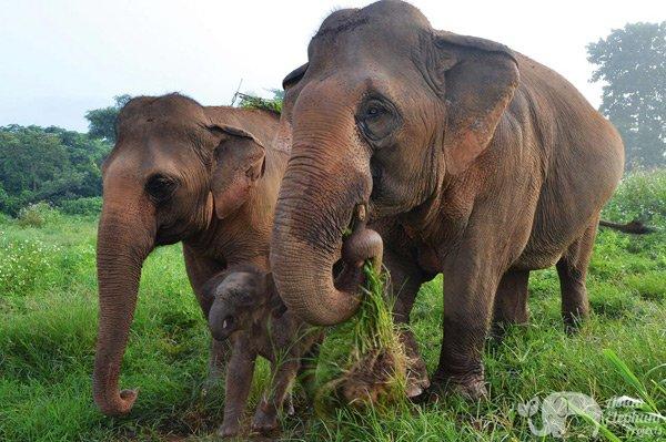 elephant family bonding in thailand
