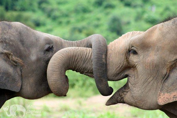 Elephants entwine trunks at Elephant Nature Park