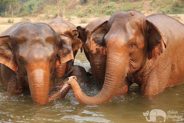 Elephants touch trunks at Elephant_Nature_Park